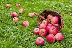 Nytt skördade mogna äpplen i en brun vide- korg som ligger på dess sida Trädgård grönt gräs Royaltyfri Foto