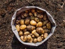 Nytt skördade potatisar Royaltyfria Bilder