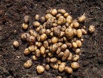 Nytt skördade potatisar Arkivfoton