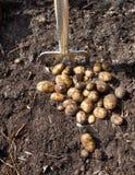 Nytt skördade potatisar Fotografering för Bildbyråer