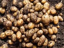 Nytt skördade potatisar Royaltyfri Bild