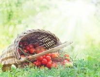 nytt skördade tomater Fotografering för Bildbyråer