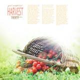 nytt skördade tomater Arkivfoto