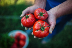 Nytt skördade tomater i bondehänder arkivbild