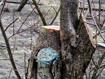 Nytt nytt snitt av aprikosträdstammen och det gamla öm klippta stället av trädet Arbeta i trädgården trädföryngringbegreppet, bak royaltyfria bilder