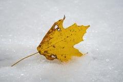 Nytt stupat gult blad för sockerlönnträd i den första snön av året fotografering för bildbyråer