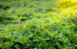 Nytt sunt grönt bio och econaturtema med abstrakt blurr Royaltyfri Foto