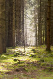 Nytt träd i mitt av gamla Forrest Arkivbild