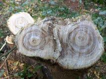 Nytt tvärsnitt av en trädbrenchskarv Arkivbild
