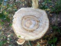 Nytt tvärsnitt av en trädstam Arkivbild