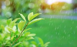 Nytt ungt grönt trädöverkantblad på suddig bakgrund i sommarträdgården med att regna och strålar av solljus Närbildnaturleav arkivbild