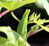 Nytt växa behandla som ett barn för okra-/Lady's finger oklippt på växten Royaltyfria Foton