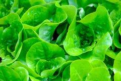 Nytt växa för grönsallat Royaltyfria Bilder