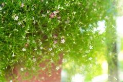 Nytt växa för gypsoblomma upp på den bruna krukan, närbild Arkivfoto