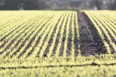 Nytt växa för lantgårdskörd i plöjt fält Selecive fokus royaltyfri fotografi