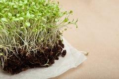 Nytt växande mikro-gräsplaner på en vit servett detox Riktig n?ring royaltyfria foton