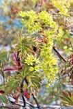 Nytt vårliv av lönnträdfilialen med blommamakrobackgro Royaltyfri Foto