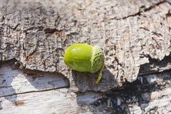 Nytt vald hel grön ekollon Arkivbilder