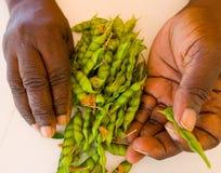 Nytt valda gröna duvaärtor i det karibiskt Royaltyfria Foton