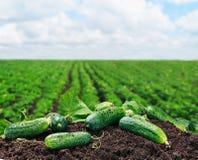 Nytt valda gurkor på jordningen Arkivbild