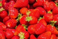 Nytt valda organiska jordgubbar Royaltyfria Bilder