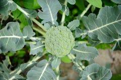 nytt vegatable Royaltyfri Fotografi