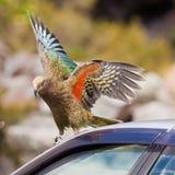 NZ alpiner Papagei Kea, das versucht, ein Auto zu zerstören Lizenzfreie Stockfotografie