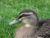 NZ Duck Royalty Free Stock Photography