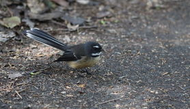 NZ fantail on the ground. A New Zealand fantail on the trail Stock Photo
