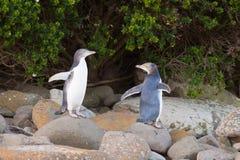 NZ juvenil Amarillo-eyed pingüinos u Hoiho en orilla fotos de archivo