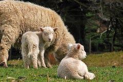 NZ Lambing season Stock Photo