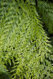 NZ native fern. Royalty Free Stock Images