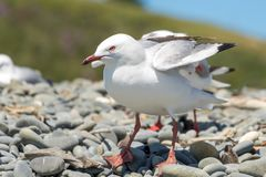 NZ Seagulls On Windy Beach Royalty Free Stock Images