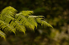 NZ Silver Fern Royalty Free Stock Photography