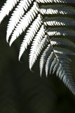 NZ Silver Fern Stock Images