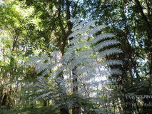 NZ silver fern Stock Image