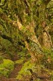 NZ-sommar 2011 - Kamahi skog royaltyfria bilder
