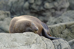 NZ Summer 2011 - Kaikoura Coast - Seal Colony Royalty Free Stock Images