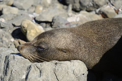 NZ Summer 2011 - Kaikoura Coast - Seal Colony Royalty Free Stock Image