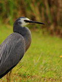 NZ White-faced Heron Stock Image