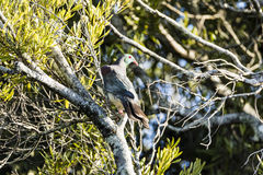 NZ Wood Pigeon Royalty Free Stock Photo