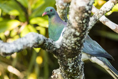 NZ Wood Pigeon Royalty Free Stock Images