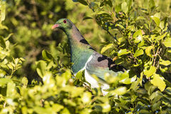 NZ Wood Pigeon Stock Photography