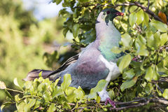 NZ Wood Pigeon Royalty Free Stock Photos