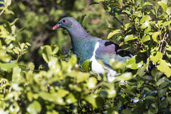 NZ Wood Pigeon Stock Image