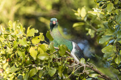 NZ Wood Pigeon Stock Photo
