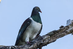 NZ Wood Pigeon Stock Images