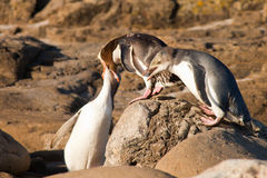 NZ Yellow-eyed Penguins or Hoiho feeding the young Royalty Free Stock Images