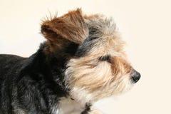oäktinghund royaltyfri bild