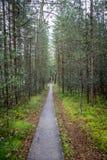 Oändlighetsperspektiv av att gå slingan i en pinjeskog Royaltyfria Foton